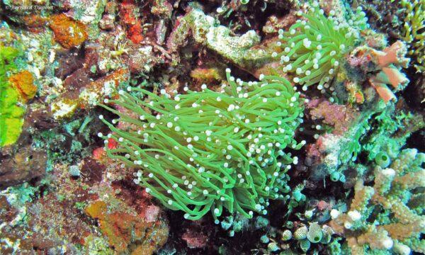 Euphyllia glabrescens - Groen Toorts Koraal