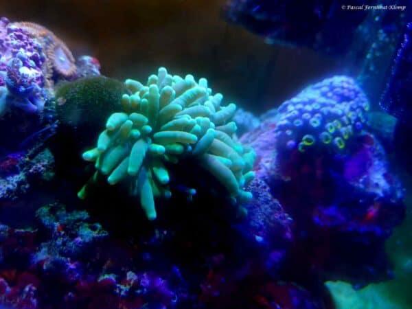 Euphyllia glabrescens - Toorts Koraal