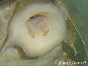Hypancistrus sp. Angelicus Pleco - L028 - Close up mond