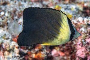 Chaetodon blackburnii