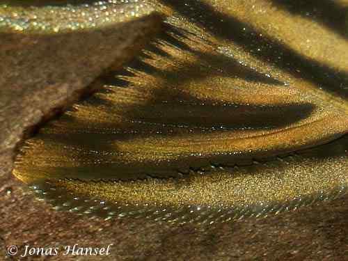 Panaque cf. armbrusteri 'tocantins' - L027c - Close up borstvin