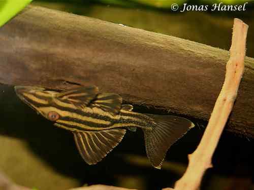 Panaque cf. armbrusteri 'tocantins' - L027c