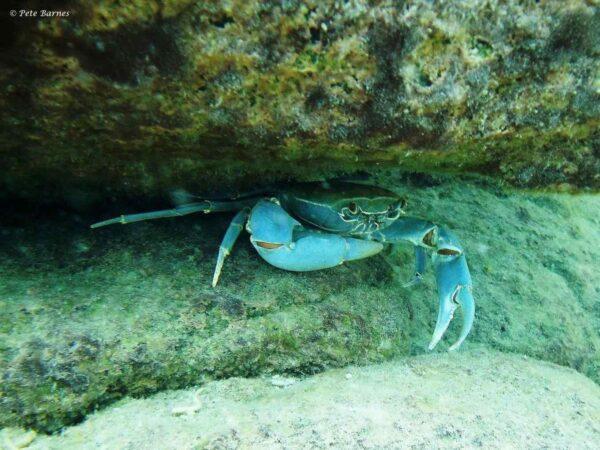 Potamonautes lirrangensis - Blauwe Malawi Krab - Kawanga