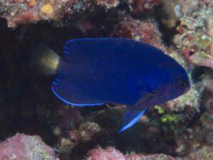 Centropyge fisheri - Oranjeblauwe Dwergkeizersvis