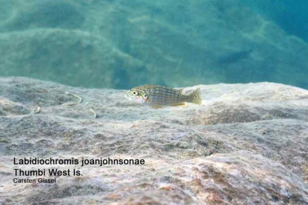 Labidochromis joanjohnsonae - Thumbi West Island