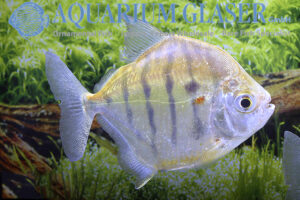 Metynnis fasciatus - Gestreepte Silver Dollar - Man
