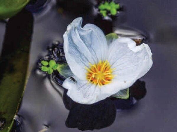 Stratiotes aloides - Krabbenscheer - bloem