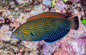Anampses caeruleopunctatus - Blauwgestippelde Lipvis - Eerste fase - Reunion Island