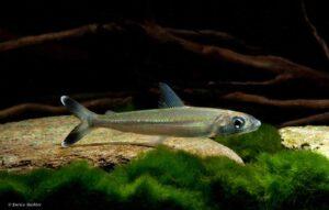 Hemiodontidae