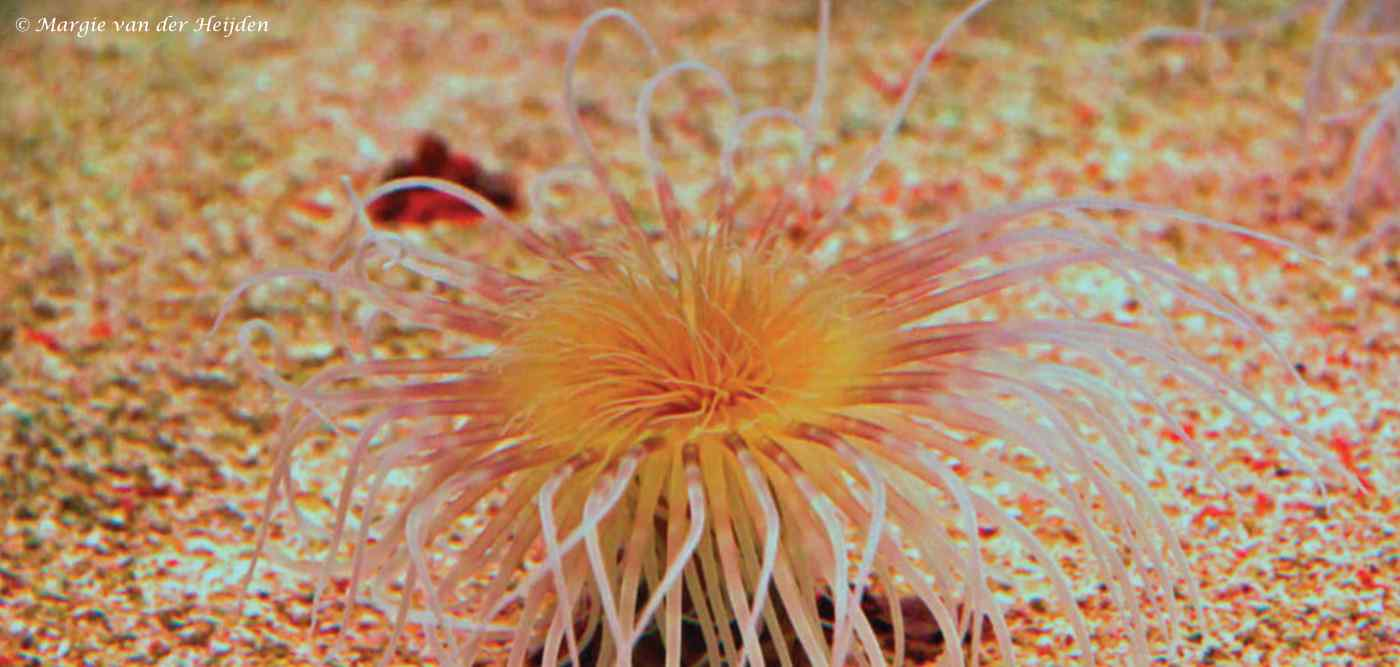 Cerianthus orientalis - Cilinderroos - geel