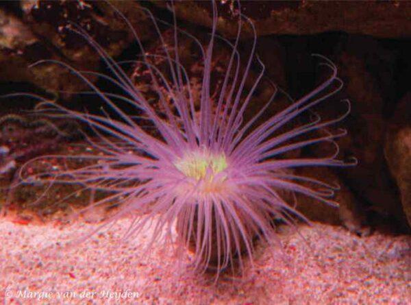 Cerianthus orientalis - Cilinderroos - roze