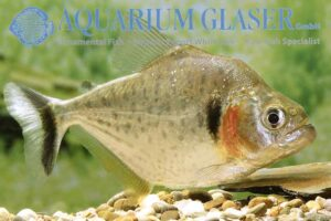 Serrasalmus humeralis