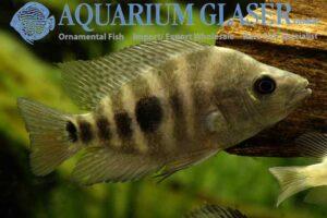 Amphilophus xiloaensis