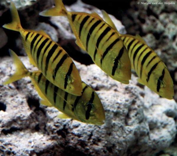 Gnathanodon speciosus - Gouden Makreel