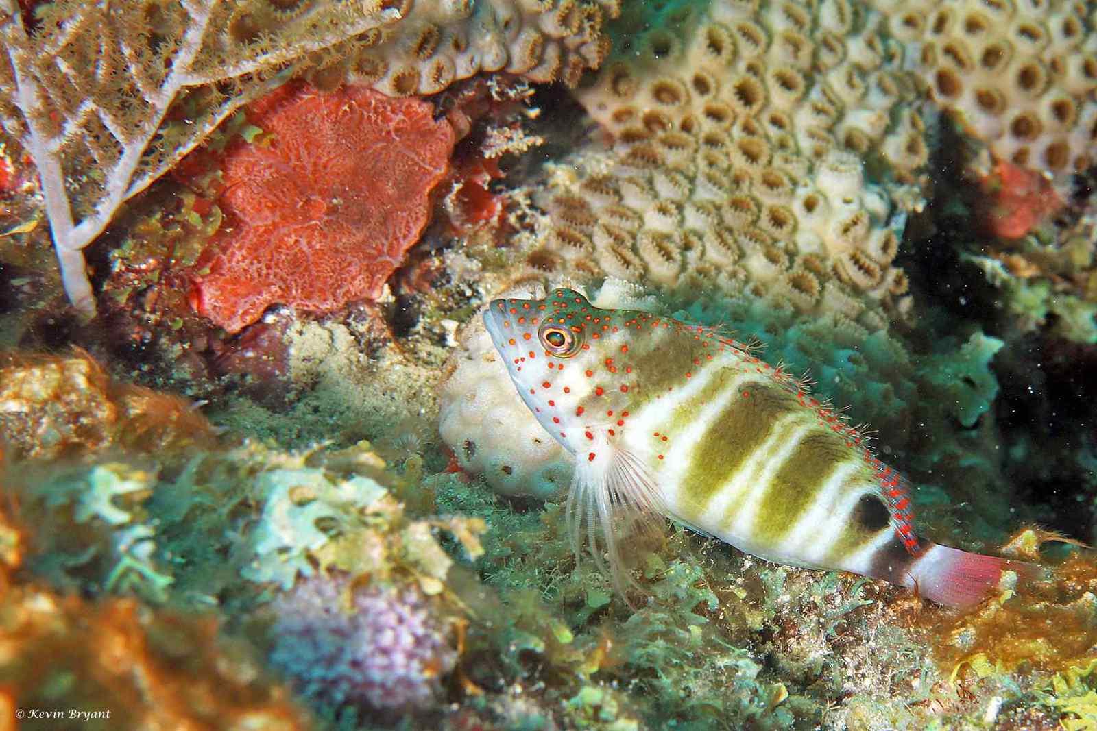 Amblycirrhitus pinos - Caribische Koraalklimmer