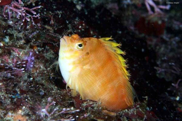 Cirrhitichthys aureus - Gele Koraalklimmer