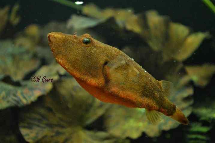 Tetraodon miurus - Congo Kogelvis