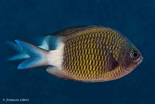 Chromis chrysura - Volwassen - Reunion Island